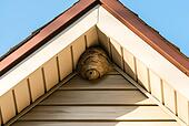 Paper wasp nest on triangular roof siding