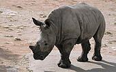 White Rhino Baby