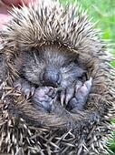 Single hedgehog baby