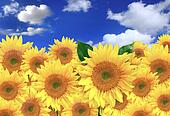 Happy Sunflowers in a Field on a Sunny Day
