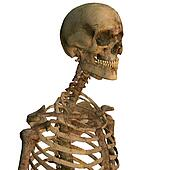 Aging human skeleton close up