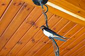 Swallow resting on the wire