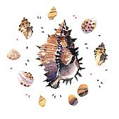 Watercolour Murex Seashell