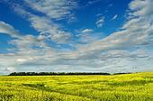 yellow field under beautiful sky