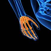 the hand bones