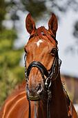 horse portrait front