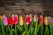 Colourful floral border of fresh tulips