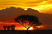 Sunset in savanna