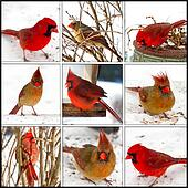 Red Cardinals Collage - Male/Female