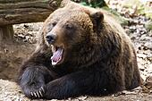 Brown bear yawning