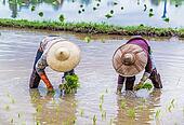 Farmer transplant rice seedlings on field in rural Thailand.