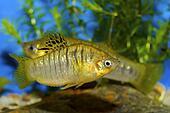 Fish from genus Poecilia