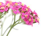 Yarrow on a white background