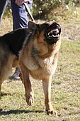 Vicious Police Dog