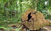 tree cut in rainforest