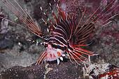 Hunting Lion Fish