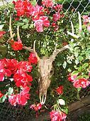 Deer Skull & Roses