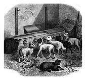 Feeding bottles for lambs, vintage engraving.