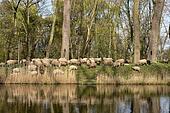 Flock of sheep in Belgium