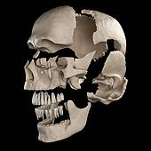 The parts of the human skull