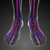 Foot circulatory system