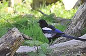 Common Magpie (P. pica)