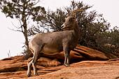 Big Horn Sheep Standing On Red Rocks