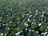 Agriculture in Spain, cabbage cultivation