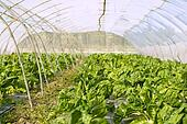 green chard cultivation in a hothouse field