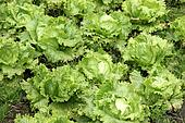 Agriculture-lettuce closeup