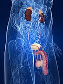 urinary system