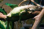 Green Iguana - 2