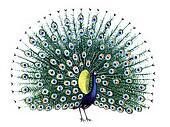 Bird Peacock