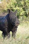 White Rhino Feeding