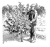 Vintage illustration, man take care of a young peach tree in the orchard