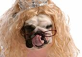 spoiled dog - dog dressed up with blonde wig and tiara