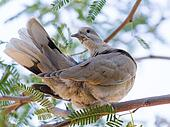 Mourning Dove on Mesquite Tree