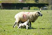 Spring lambs with their mum