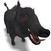 dangerous black boar is stiff-bristled