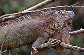 Brown lizard sleeping on a branch