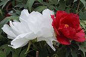 peony in spring