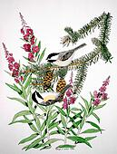 Black-capped Chickadees and Fireweed
