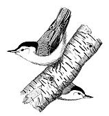 White-breasted Nuthatch pair