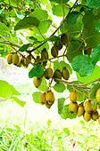 Big cluster of kiwi fruit on the tree