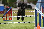 Standard Poodle doing Dog Agility
