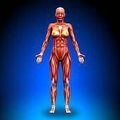 Anterior view - Female Anatomy