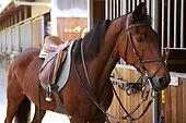 Brown horse  with saddle and reins