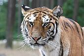 Tiger Portrait - Close Up Face Shot