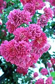 Flores of roses