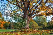Big tree in the autumn
